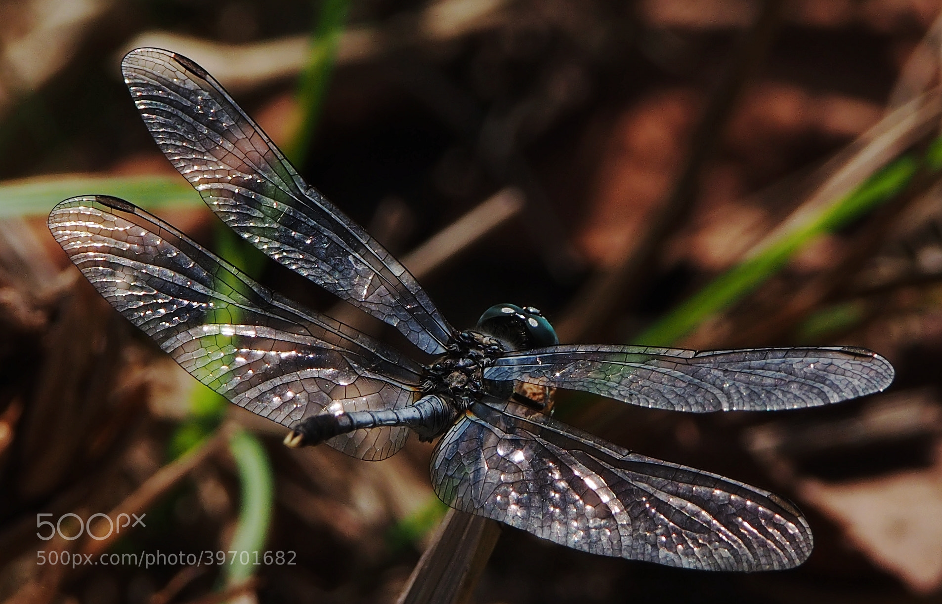 Photograph Beautiful Wings by Sherman C. on 500px