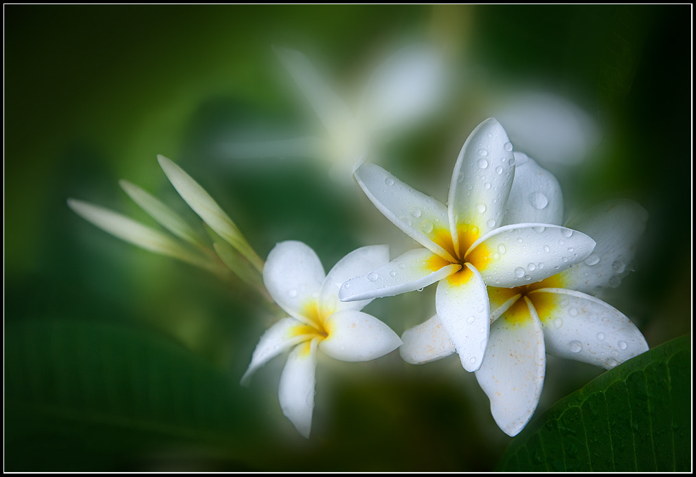 Photograph Frangipani In The Rain II by Leo Burkey on 500px