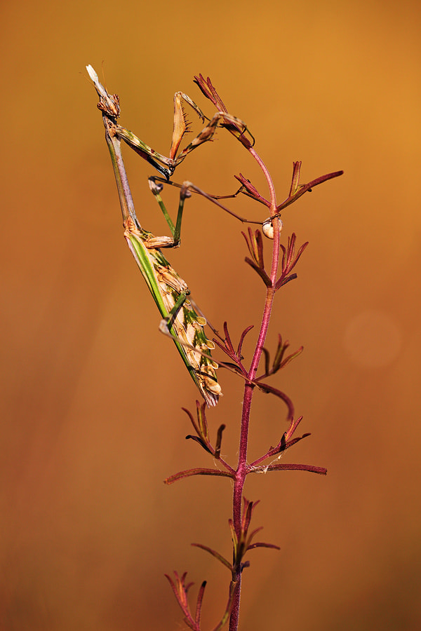 Photograph Empusa pennata by Christian Rey on 500px