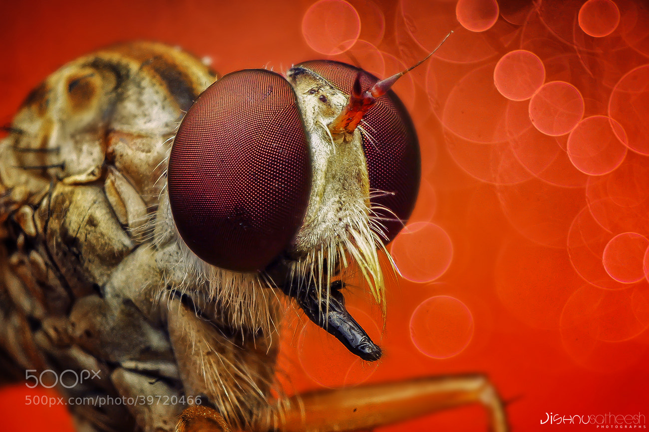 Photograph Robber fly by Jishnu Satheesh Babu on 500px