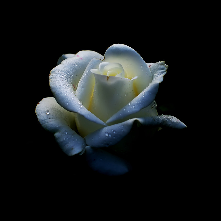 Photograph White rose - returning by Hristo Gergov on 500px