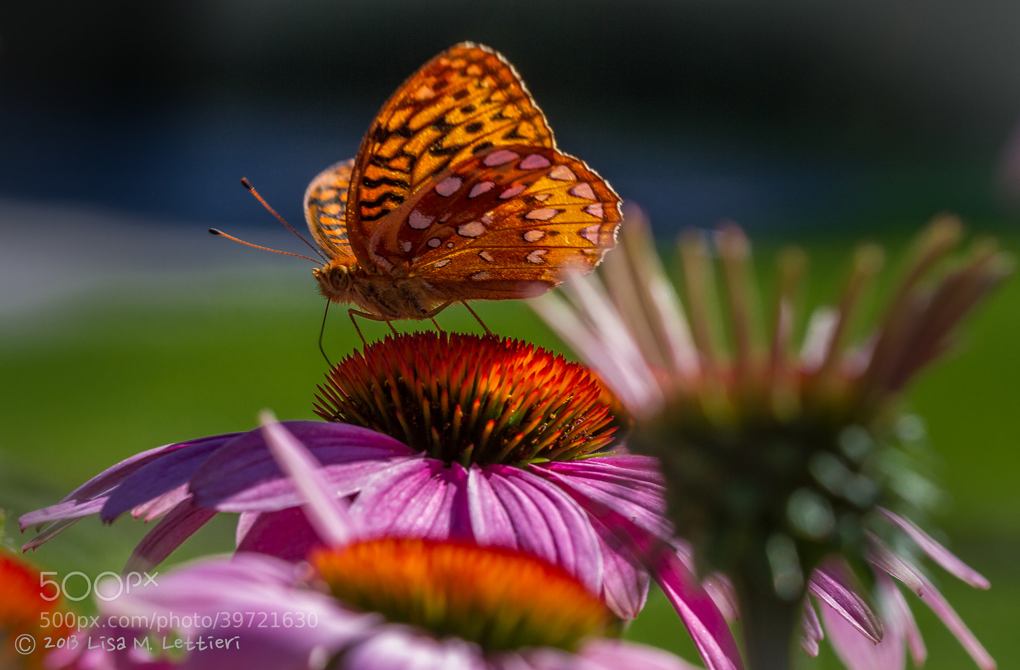 Photograph Butterfly & Cone Flowers by Lisa Lettieri on 500px