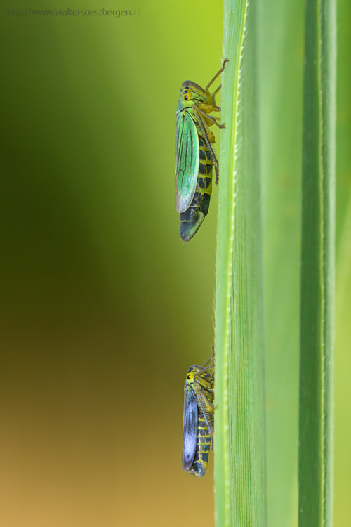 Photograph Cicadella viridis male and female by Walter Soestbergen on 500px