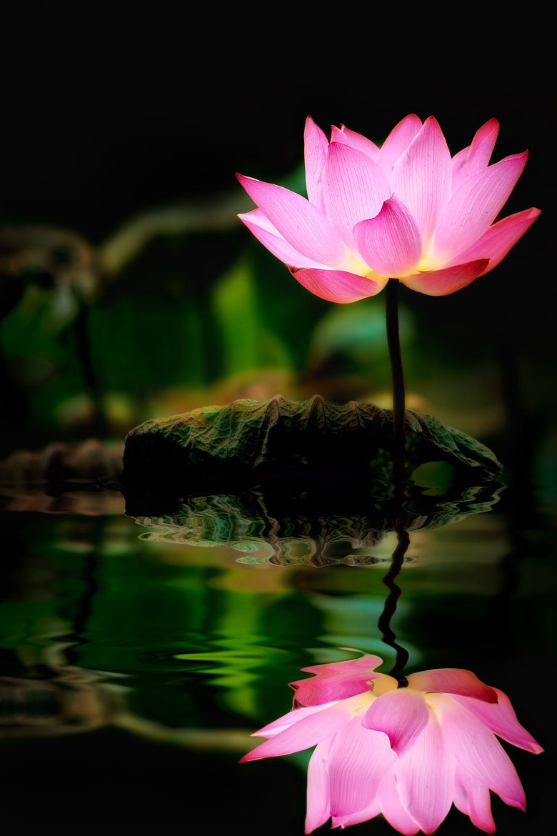 Photograph Lotus flowers reflection by FuYi Chen on 500px