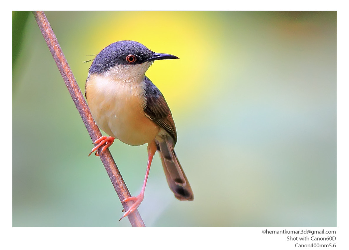 Photograph Ashy Prinia by Hemant Kumar on 500px