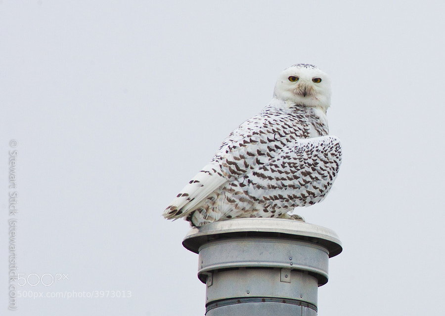 Snowy Owl by Stewart Stick (stickshots)) on 500px.com