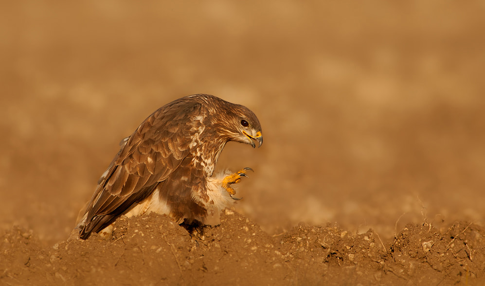 Photograph Buzzard by Sue Berry on 500px