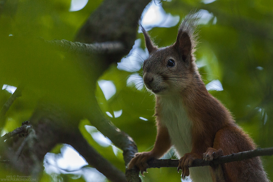 Photograph Squirrel by Samu Puuronen on 500px