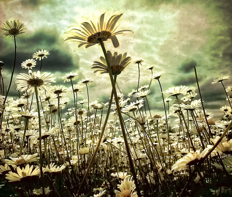 Photograph Stinky daisies by Michelle Policicchio on 500px