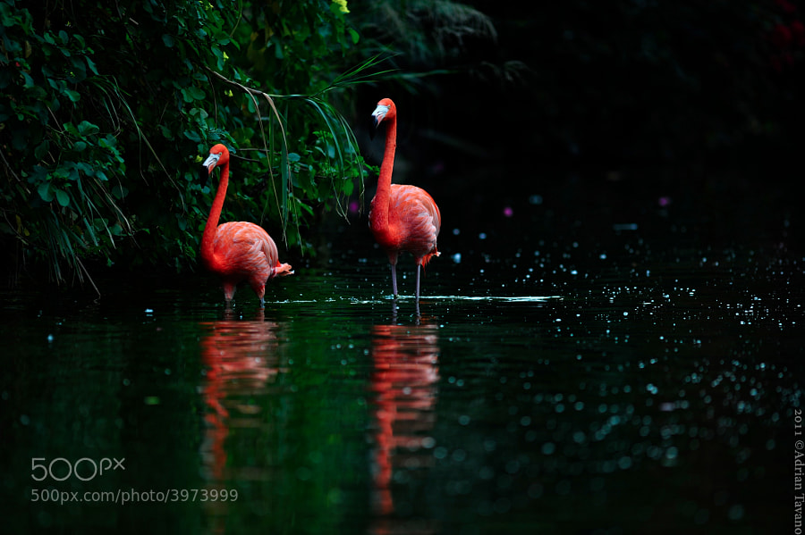 Two caribbean flamingos walk in the pond while the last evening light illuminates them. 
