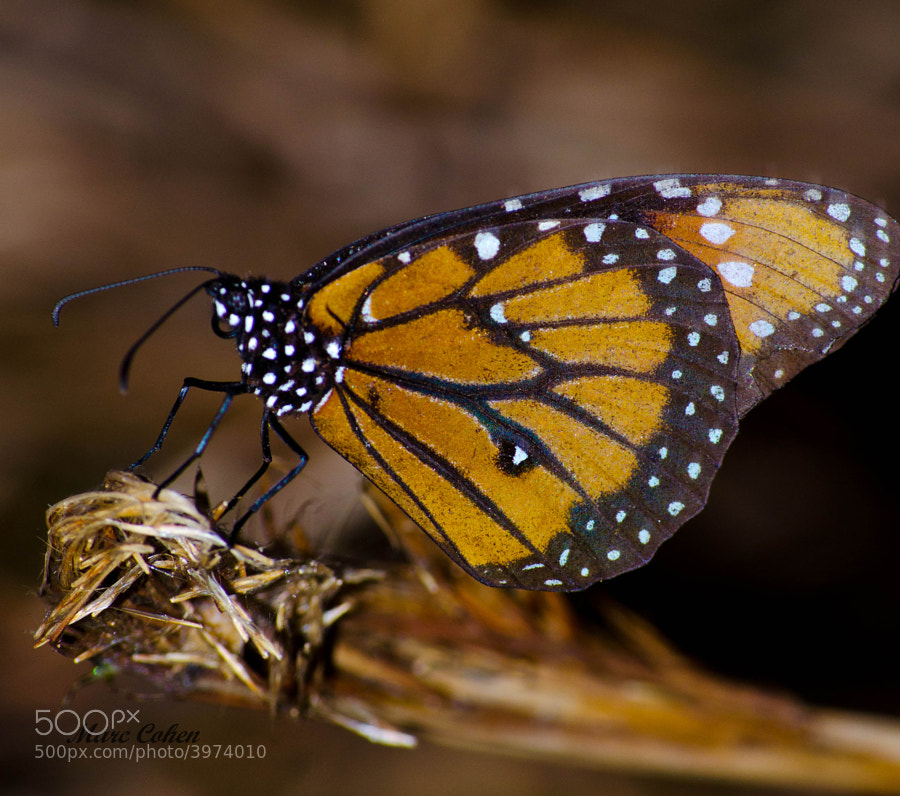 Photograph Butterfly by Marc Cohen on 500px