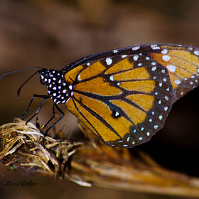 Butterfly by Marc Cohen (Marc817)) on 500px.com