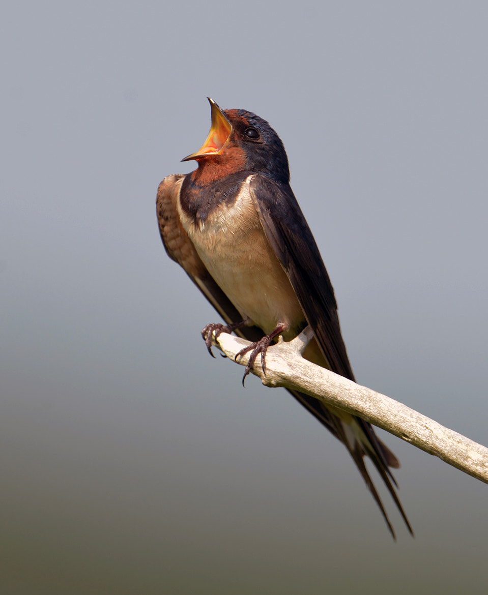 Photograph Swallow by Alec Pelling on 500px