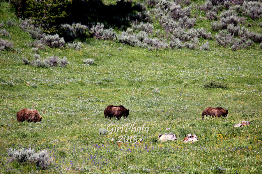 Photograph Mom Grizzly with cubs by Basant Giri on 500px