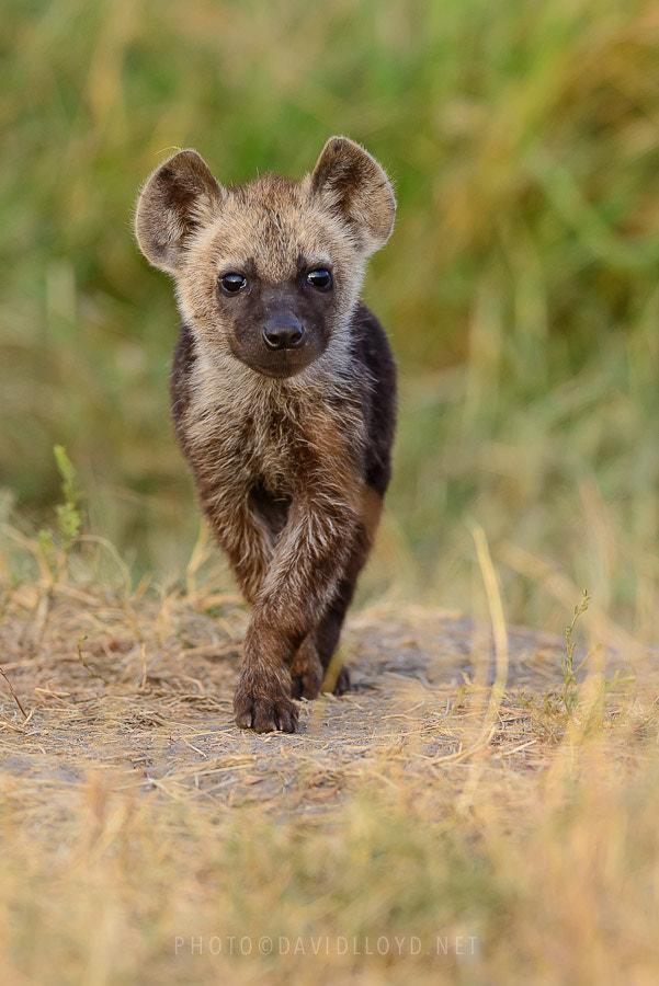Photograph Hyena Pup by David Lloyd on 500px