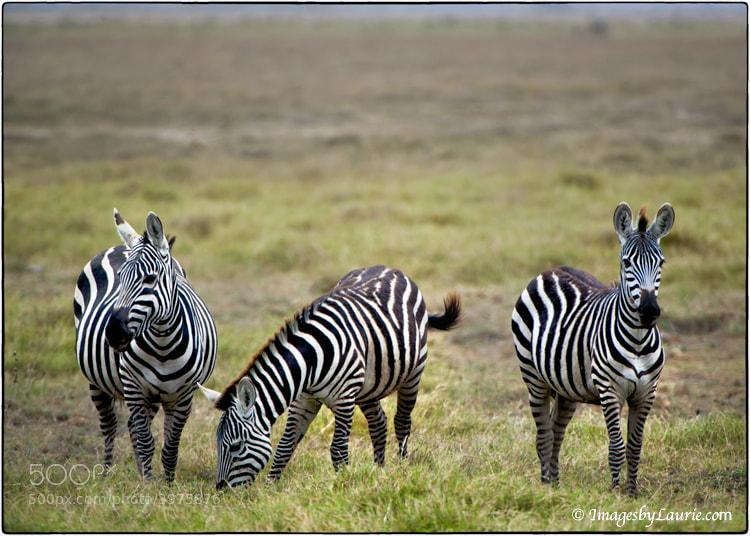Zebras from Kenya