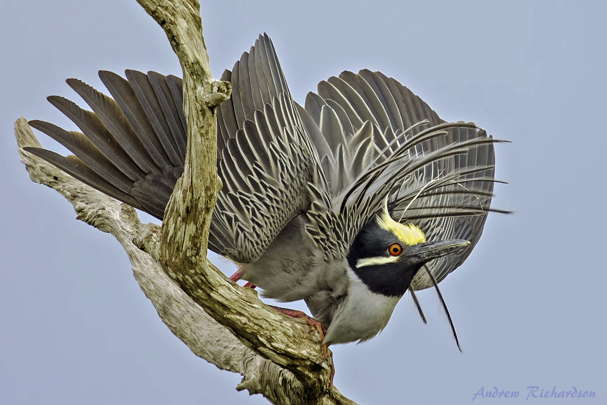 Photograph Yellow-crowned Night Heron by Andrew Richardson on 500px