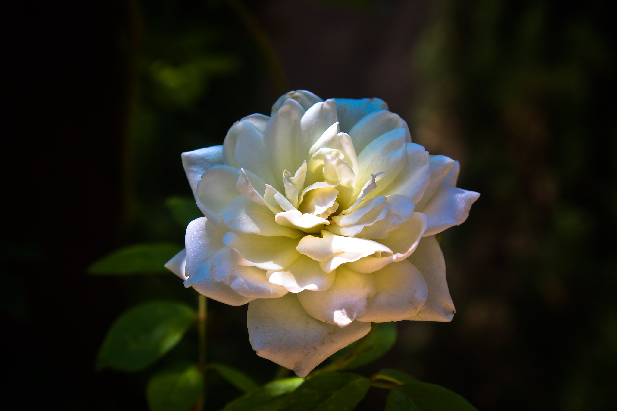 Photograph White Rose in light by Kirk Wallace on 500px