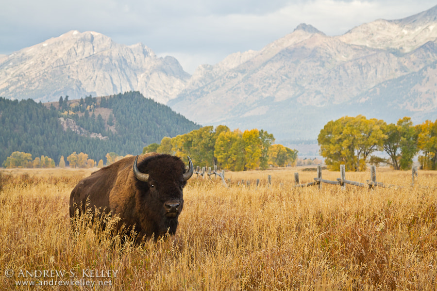 Photograph Bison in Tall Grass by Andrew Kelley on 500px