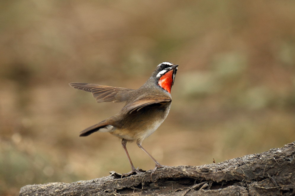 Photograph  Siberian Rubythroat  by Woody L. Chu on 500px