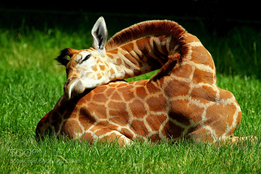 Photograph Resting male baby giraffe by Rainer Leiss on 500px