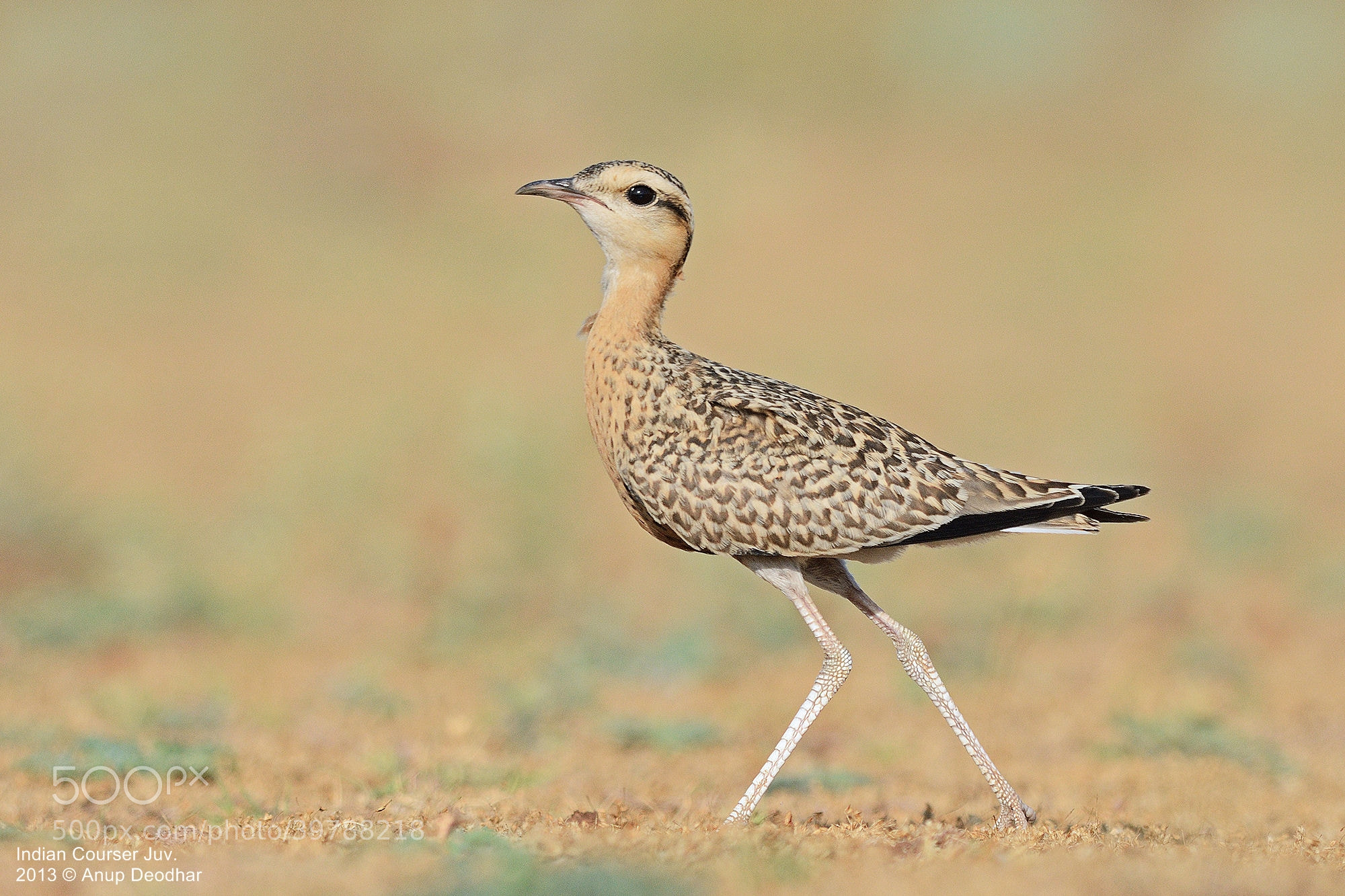 Photograph Indian Courser Juvenile by Anup Deodhar on 500px