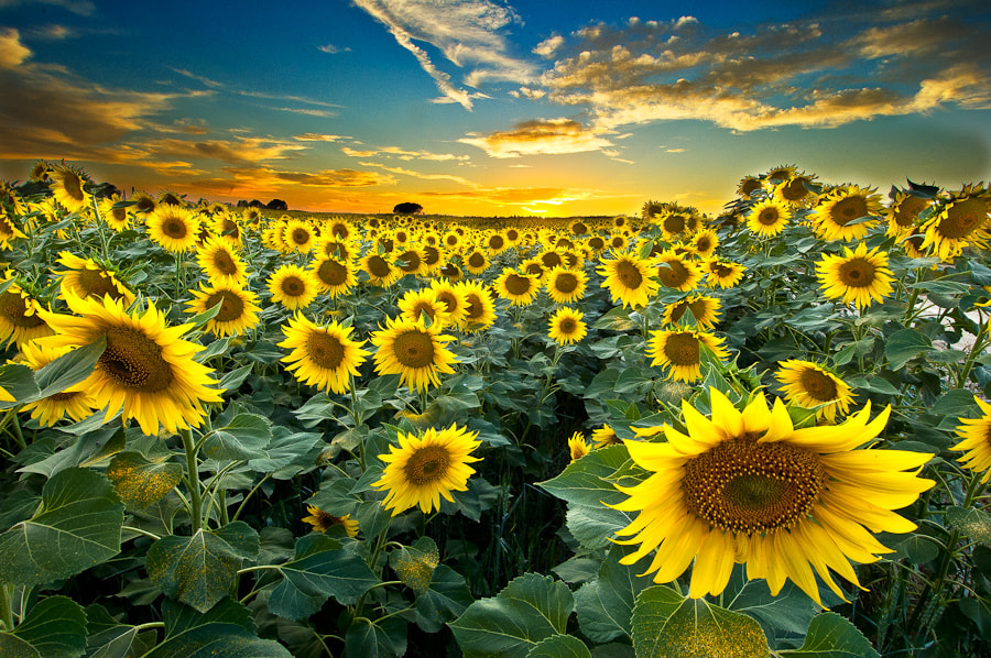 Photograph Sunflowers by Xavier Farre on 500px