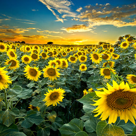 Sunflowers by Xavier Farre (XavierFarre)) on 500px.com