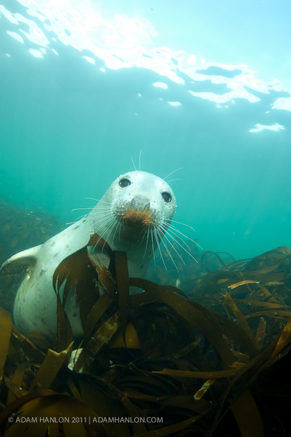 Photograph Rusty nosed seal by Adam Hanlon on 500px