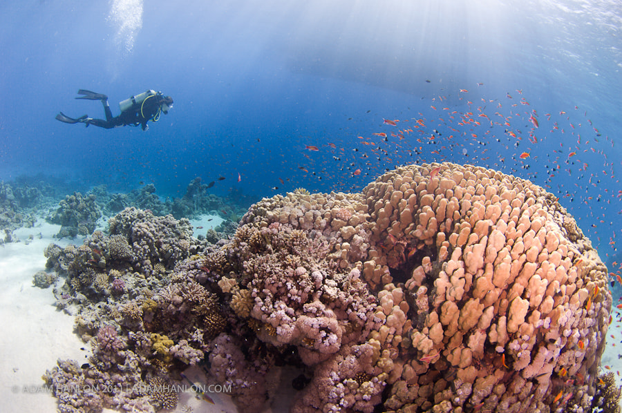 Photograph Diver on reef by Adam Hanlon on 500px