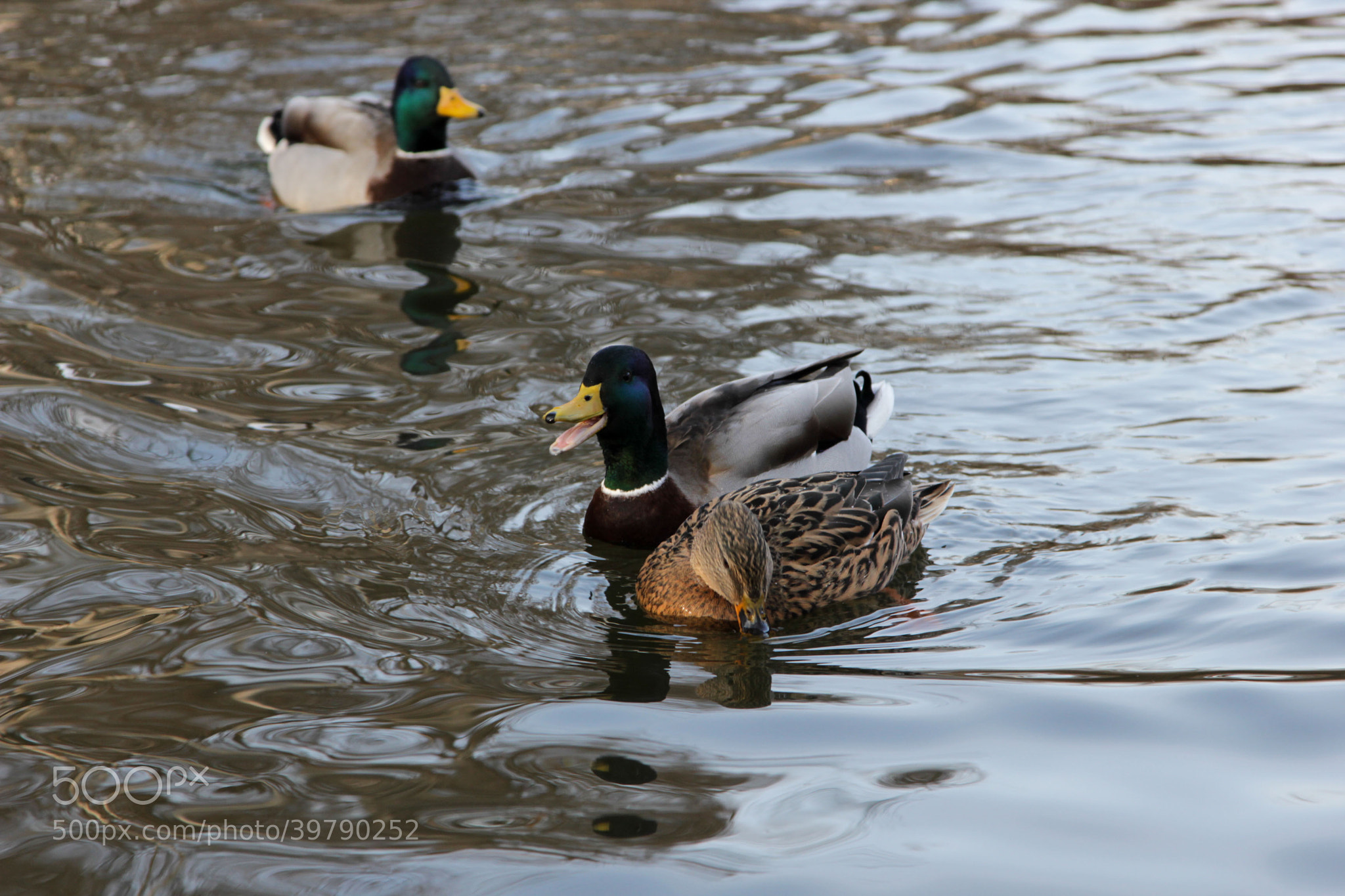Photograph Duck Engarde by Patrick Fair on 500px