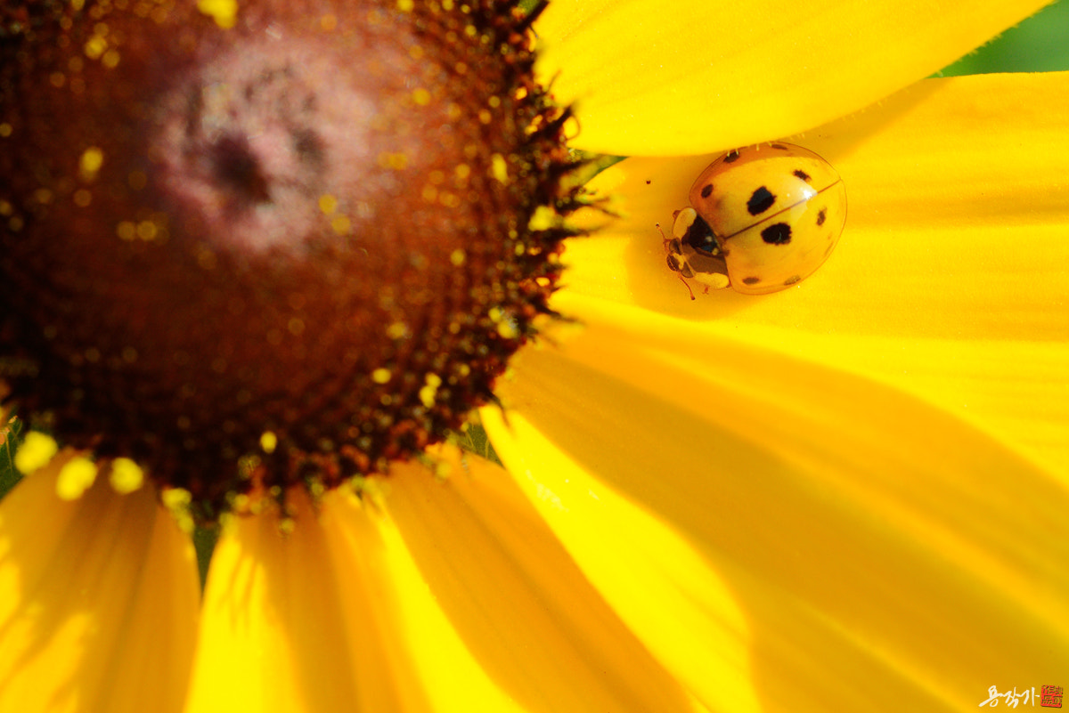 Photograph Cute Yellow Ladybug by Photographer YonG on 500px