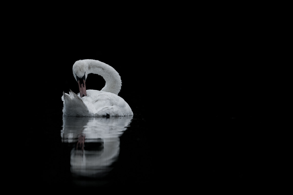 Photograph The swan by Fredrik Backman on 500px