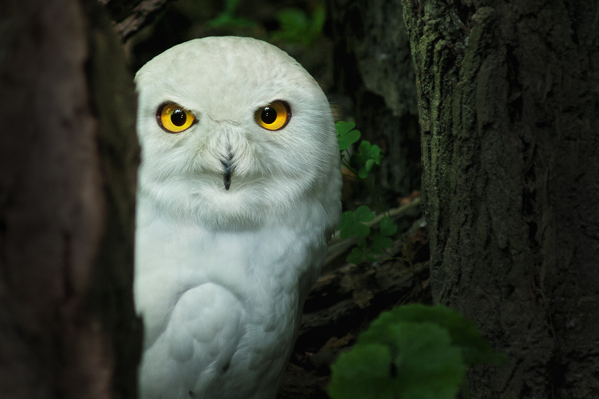 Photograph Snowy owl by Itoodmuk  on 500px
