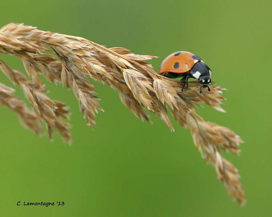 I visited with my friend Barb D'Arpino last week and we went to photograph birds and bugs. I was happy to find several of my favorite insect, the Ladybug. Even though the heat was a little extreme we had fun shooting insects together.