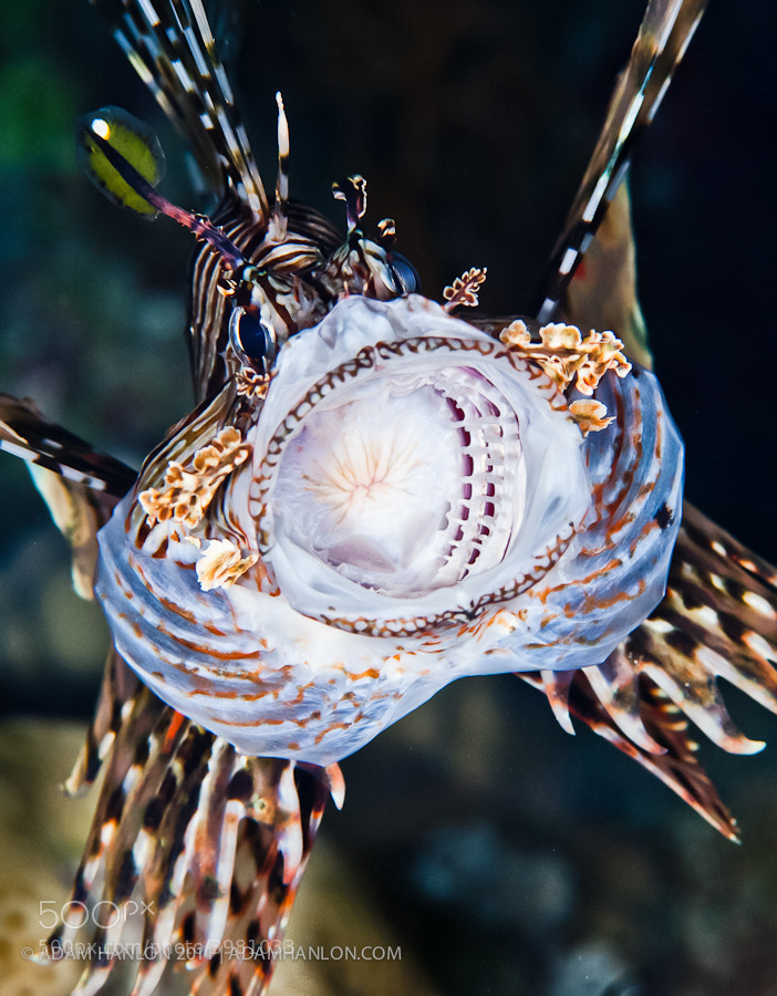 Photograph Lionfish yawn by Adam Hanlon on 500px