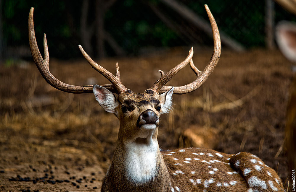 Photograph Deer by Vlad Popoff on 500px