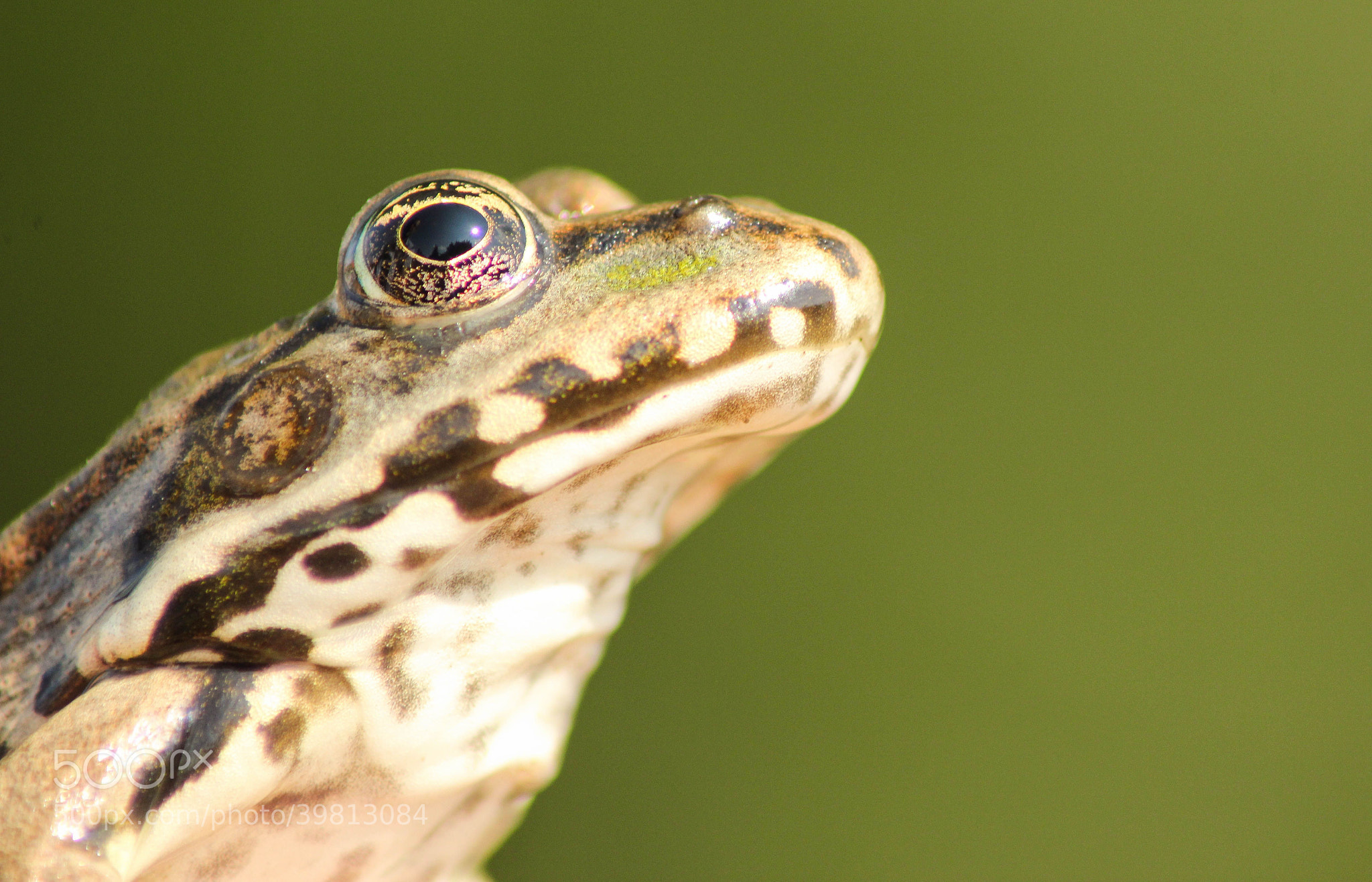 Photograph Frog eye... by András Herceg on 500px