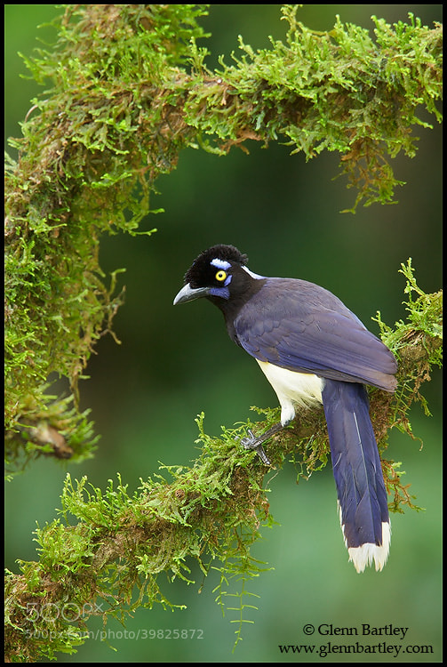 Photograph Plush-crested Jay (Cyanocorax chrysops) by Glenn Bartley on 500px