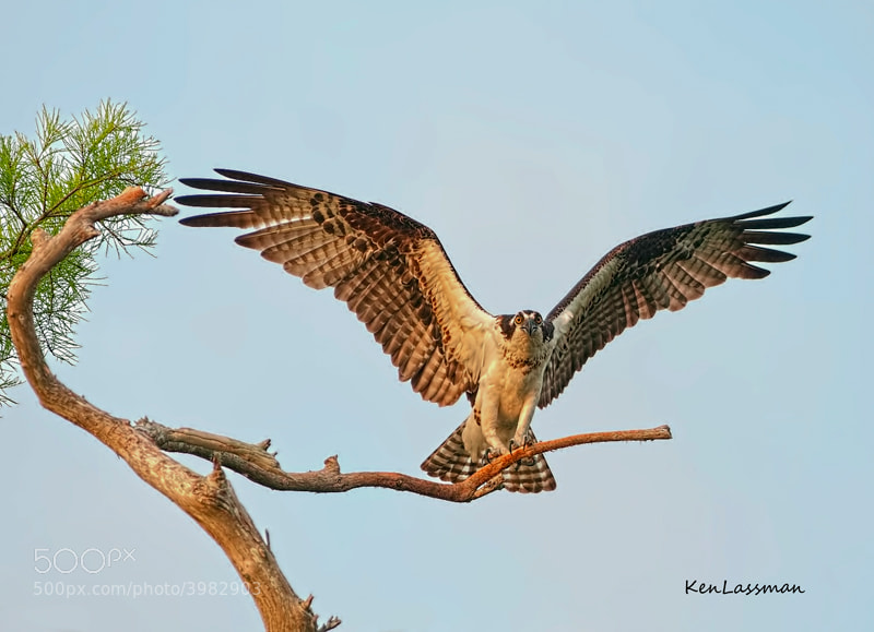 Ospreys are one of my favorite subjects...