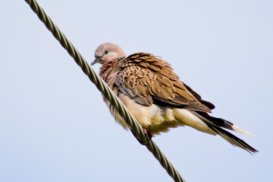 """Spotted Dove on a telephone line - Brisbane - Australia  When disturbed spotted doves (spilopelia chinensis) rise swiftly and dash for leafy cover, revealing the white tips of their outer tail feathers. Their habit of flushing into the air when disturbed makes them a hazard on airfields, often colliding with aircraft and sometimes causing damage.  """"Like a bird on the wire,  Like a drunk in a midnight choir  I have tried in my way to be free."""" (Leonard Cohen - 1968)"""
