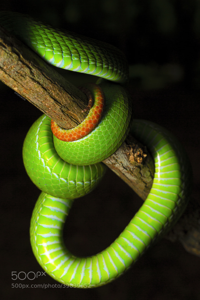 Photograph ART OF VIPER by POPUMON TiH on 500px