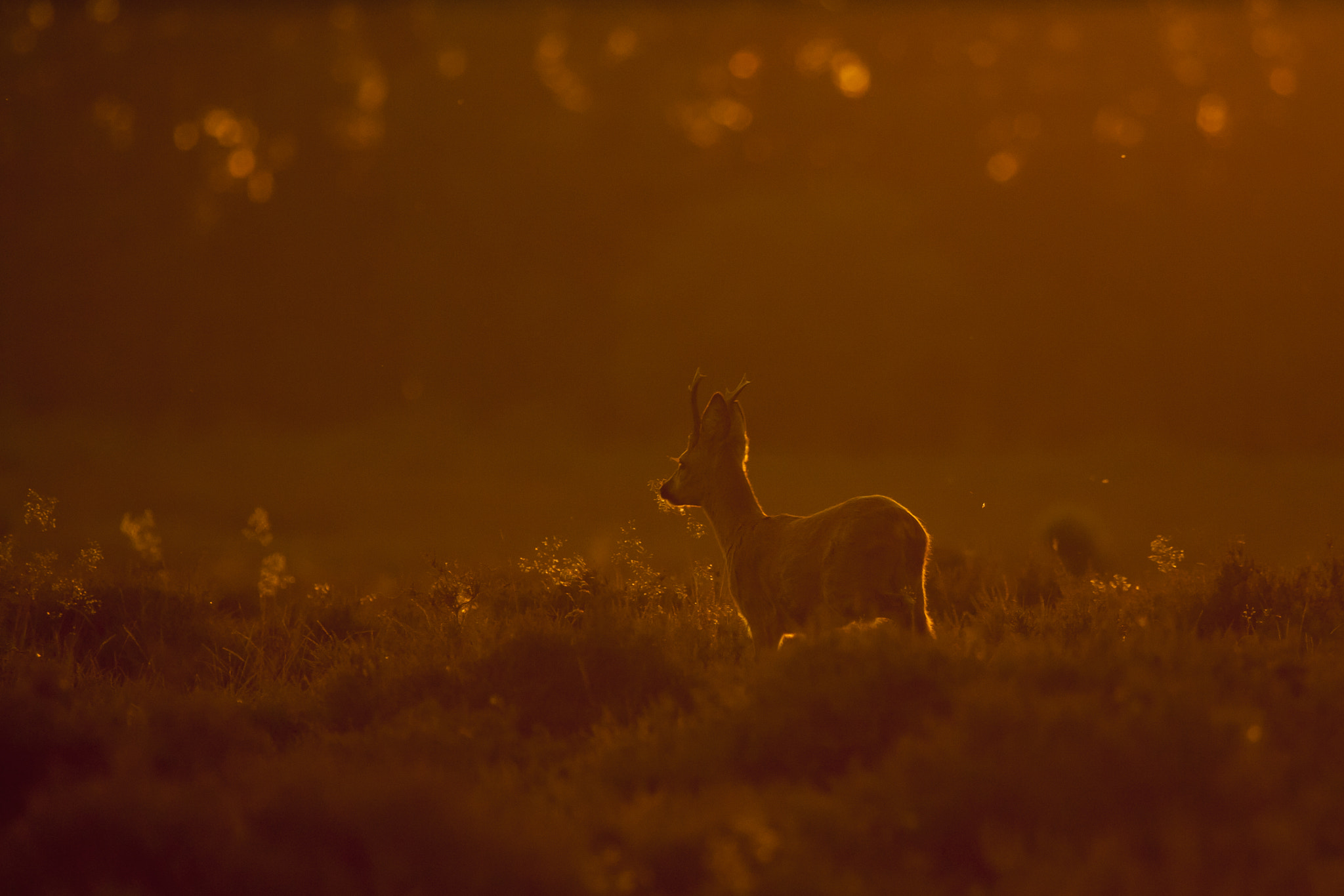 Photograph Roe deer at sunset by Gijs de Kruijf on 500px