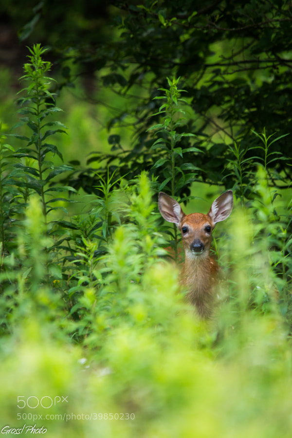 Fawn in the brush