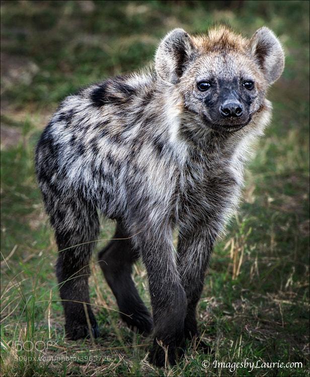 Curious Hyena Pup (Maasai Mara, Kenya)