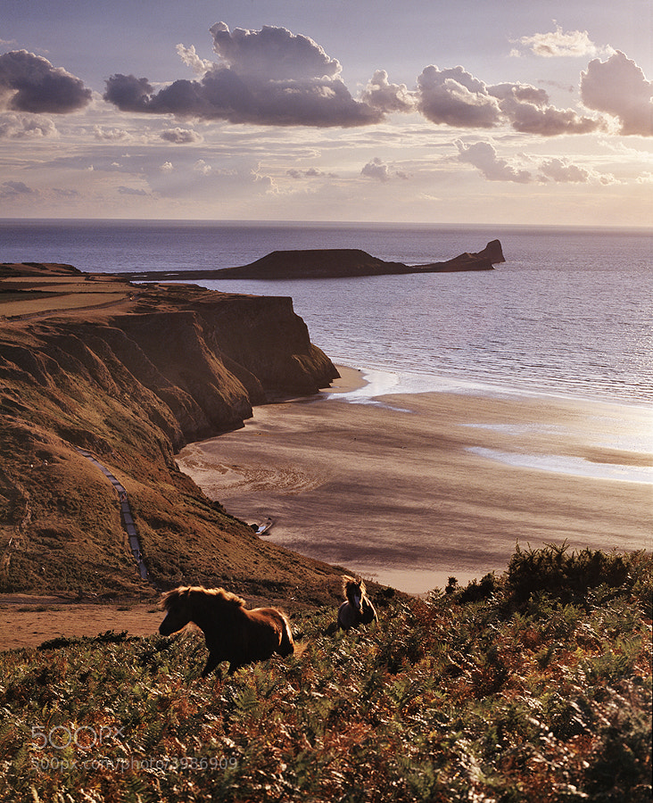RHOSSILI BAY AND WORMS HEAD,THE GOWER PENINSULA, S.WALES WITH HORSES IN FOREGROUND