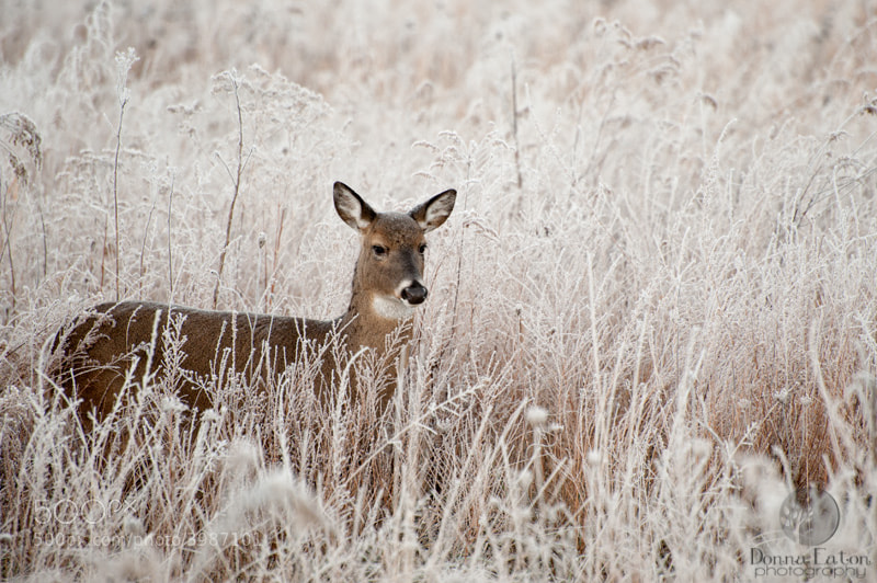 Doe in frost covered grasses in the GSMNP.