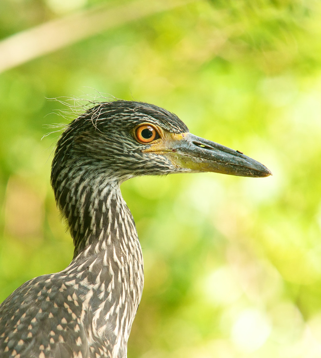 Photograph Yellow Crowned Night Heron by Mike Fuhr on 500px