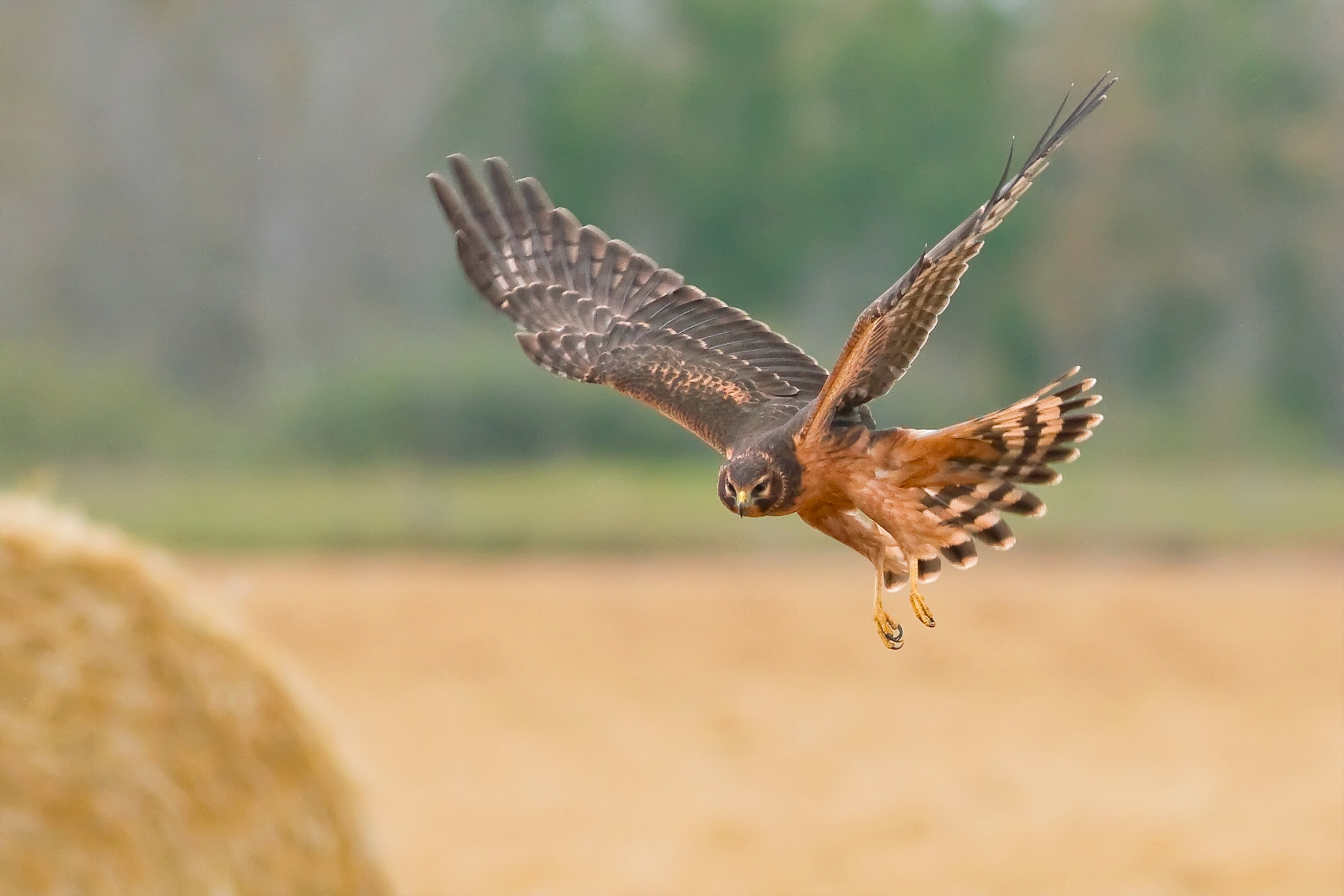 Photograph Northern Harrier by Raymond Lee on 500px