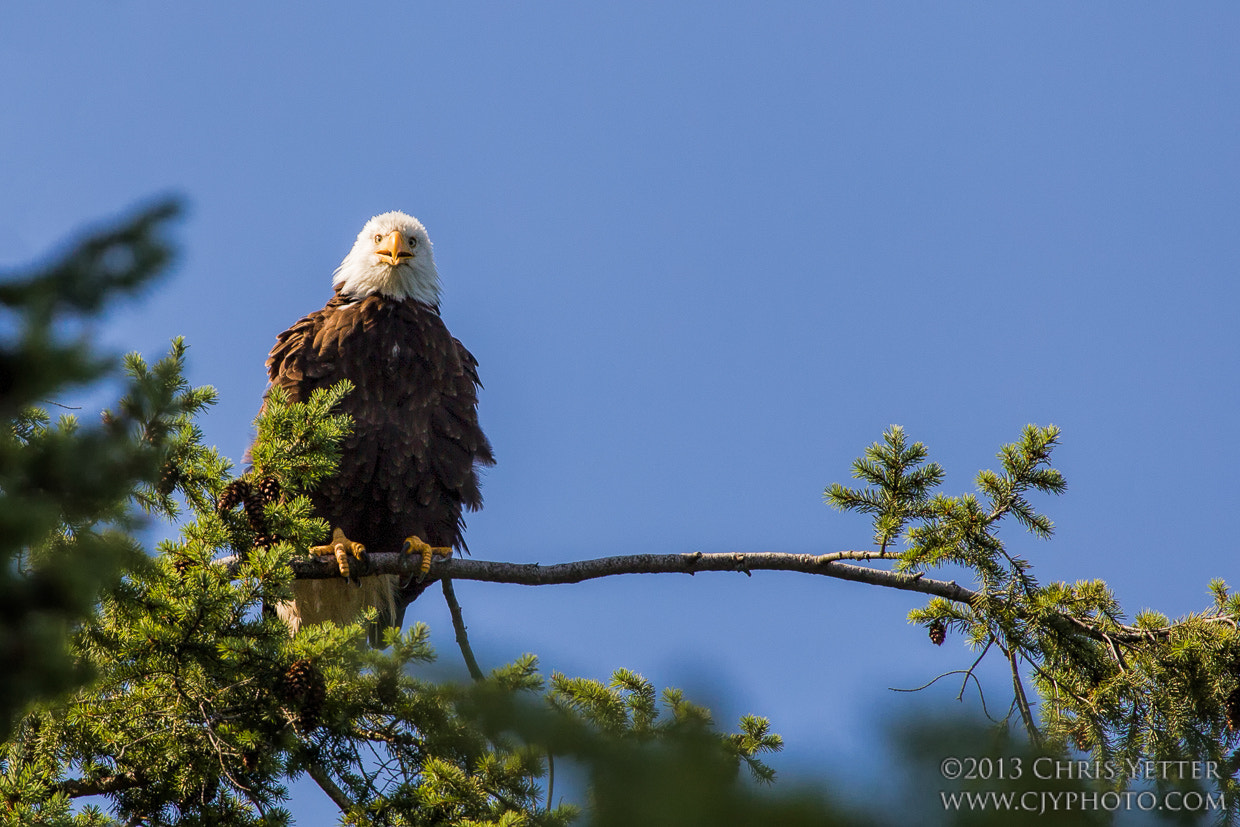 Photograph Smiling Eagle by cjyphoto on 500px